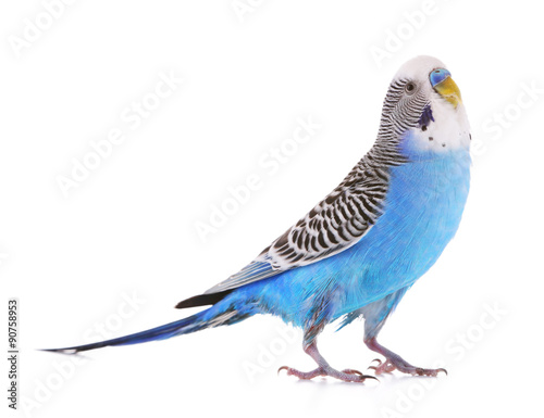In de dag Papegaai Budgerigar isolated on white