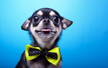 Beautiful Chihuahua Dog With Bow-tie. Animal Portrait. Chihuahua Dog In Stylish Clothes. Blue Background. Colorful Decorations. Collection Of Funny Animals