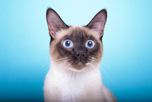 Beautiful Stylish Siamese Cat....