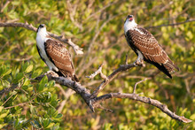 Two Juvenile Ospreys Or Fish H...