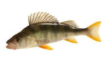 European Perch (Perca Fluviati...