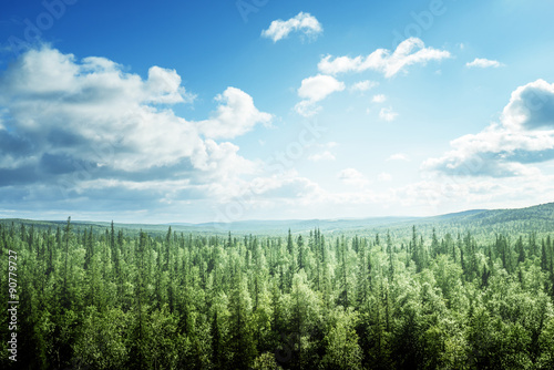 Poster Forets fir tree forest in sunny day