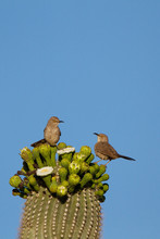 Two Curve-billed Thrashers Ato...