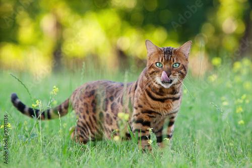 Photo  Bengal cat