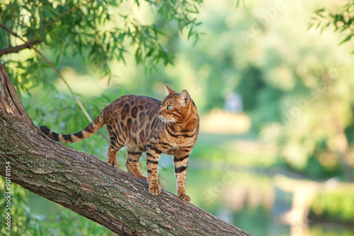Photo  Bengal cat