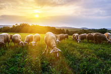 Flock Of Sheep Grazing In A Pa...