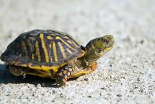 Ornate Box Turtle Cross A Grav...