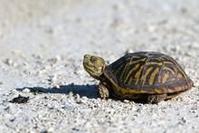 Ornate Box Turtle Encounters A...