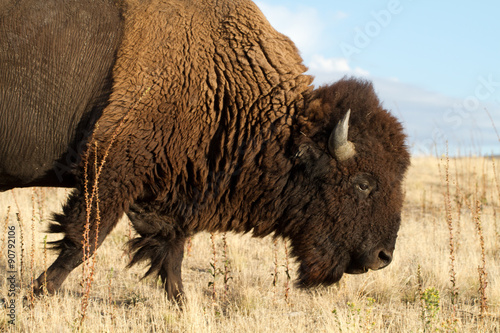 Foto op Canvas Bison American Bison or Buffalo in Antelope Island State Park in Utah