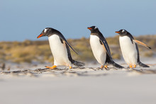 Trio Of Gentoo Pengions Taking A Stroll On The Beach