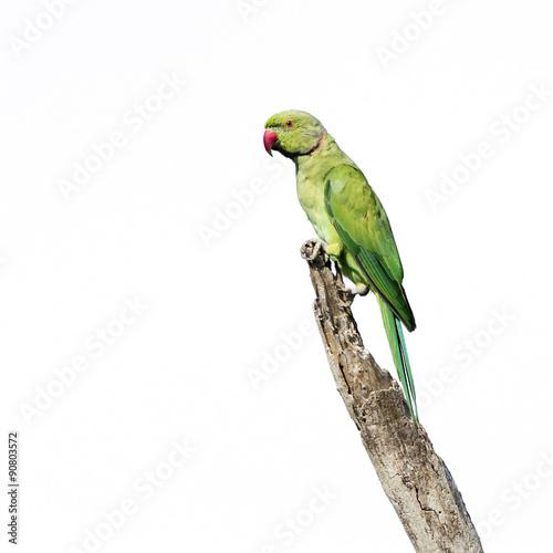 Fotografía Rose-ringed parakeet in Arugam bay lagoon, Sri Lanka