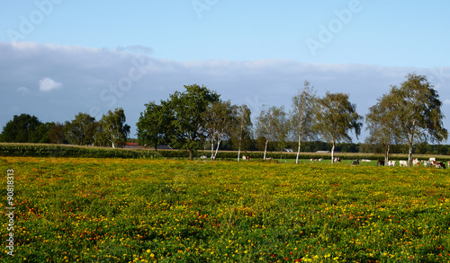 Aluminium Prints Flower shop Brabants landschap met afrikaantjes, koeien, maisvelden en wolkenlucht
