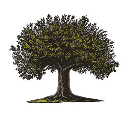 Obraz Engraved Tree. Vector illustration of a fruit tree in vintage engraving style. Isolated, grouped.