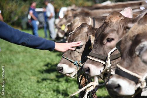 mucche vacche stalla fattori fattoria didattica allevamento occhi mucca,mammiferi,