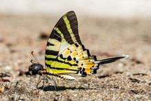 The Fivebar Swordtail Butterfly