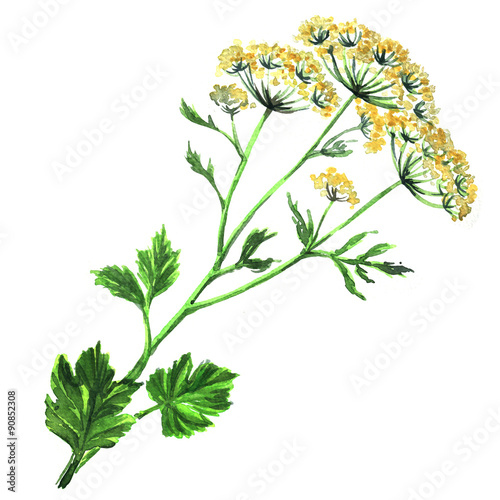 Fennel flowers anise with leaves isolated Canvas Print