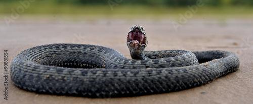 Photo The common European adder or common European viper