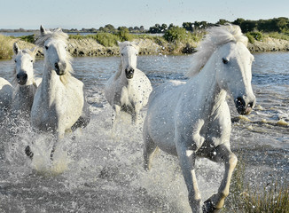 FototapetaHerd of White Horses Running and splashing through water