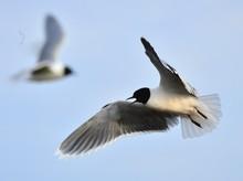 Little Gull (Larus Minutus)) Flying