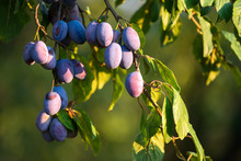 Serbian Plums On The Tree