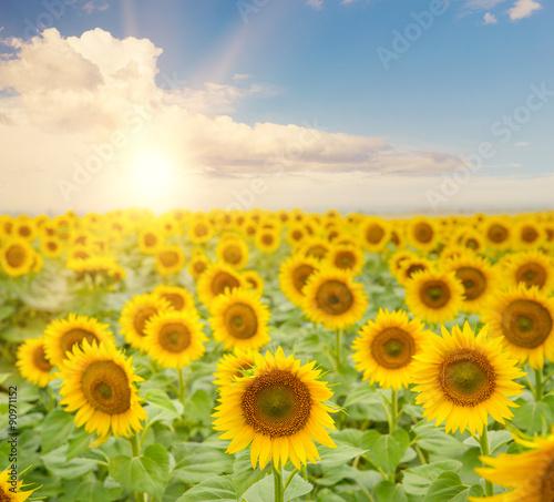 Foto auf Gartenposter Landschappen Field of blooming sunflowers.
