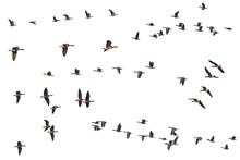 Collection Of Isolated Flying Geese Skeins On White Background For Copy Space. This Migratory Bird Specie Is Greater White-fronted Goose (Anser Albifrons), Native For USA, Canada, UK, Europe And Asia.