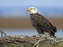 American Bald Eagle Sitting In A Nest