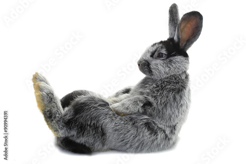 Canvas Print rabbit