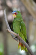 Profile of a White Fronted Amazon Parrot