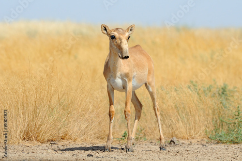 Wild female Saiga antelope near watering in steppe
