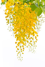 Cassia Fistula, Beautiful Yellow Flower On Isolated White Background
