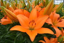 Oranje Lelie Close Up