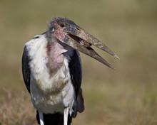 Marabou Stork (Leptoptilos Crumeniferus), Ngorongoro Conservation Area, Serengeti, Tanzania