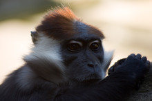 Collared Mangabey Monkey Head And Shoulders.