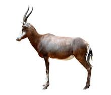 Blesbok Antelopes (Damaliscus ...