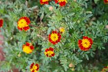 French Marigolds Flower