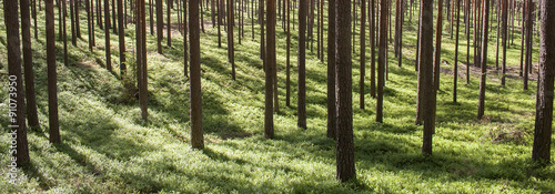 Fotobehang Bossen Pine forest trunks on sunny background. Characteristic for Scots pine forests in northern Europe: Sweden, Finland, Baltic states etc. Forest stand structure is typical for commercial forests.