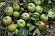 Grüne Äpfel mit Blättern in Korb
