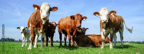Aluminium Prints Cow Gruppe Fleckviehrinder auf einer Wiese, breites Bildformat