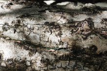 Tree Bark Close Up. Wooden Background