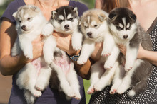 Four Puppies Siberian Husky. L...