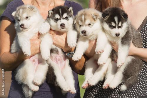 Tablou Canvas Four puppies Siberian Husky