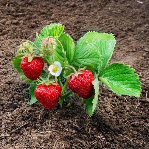 Strawberry bush grow in garden