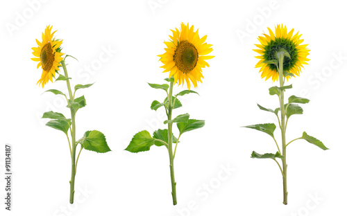 In de dag Zonnebloem Sunflower isolated. A series of images of sunflowers.