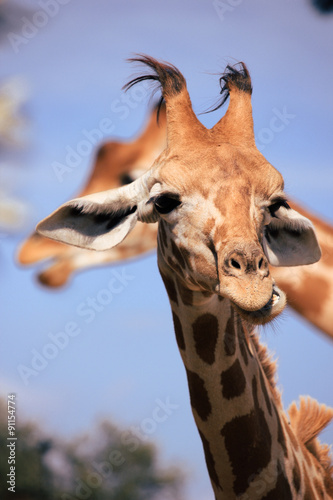 Fotobehang Giraffe Tête et cou de girafe
