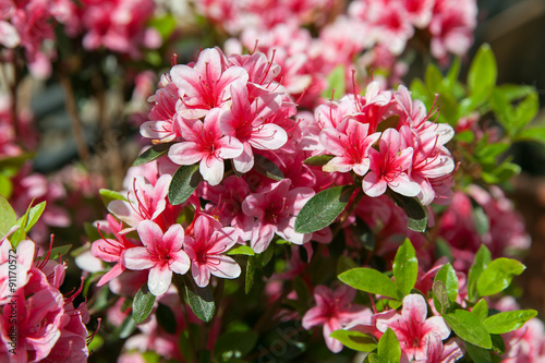Photo sur Toile Azalea A blooming azalea