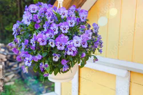 Blue pansies flowers grow in pot