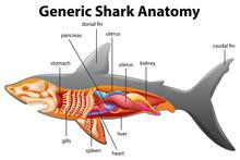 Generic Shark Anatomy Chart