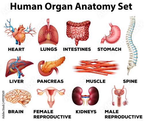 Canvas Human organ anatomy set