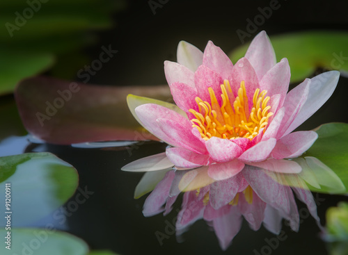 Obraz kwiat lotosu piekna-lilia-wodna